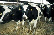 مشروع تربية الابقار بغرض انتاج الحليب